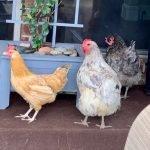 Marilee Turner Chickens testimonial